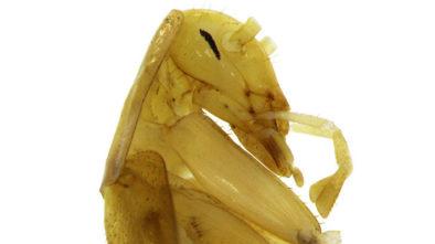 вьетнамский таракан